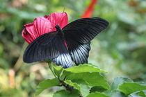 Schmetterling in Schwarz von Michaela Hübner