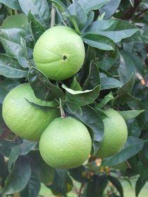 grüne Orangen by tinta3