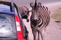 Volvo und Zebras von Sabine Zankl