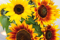 Sonnenblumen 1 von Sabine Zankl