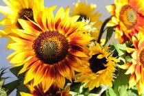 Sonnenblumen 2 von Sabine Zankl