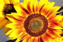 Sonnenblume von Sabine Zankl