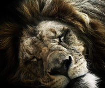 lion von André Zeischold