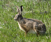 Wildhase von Hubert Hämmerle
