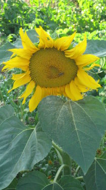 Sonnenblume by Heike Schuster