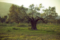 Olivenbaum by Gerd Hansmann