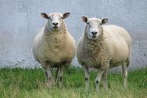 Schafe von Markus Schepers-Diekmann