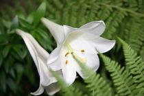 Blütenpracht in weiss von Robert Peters