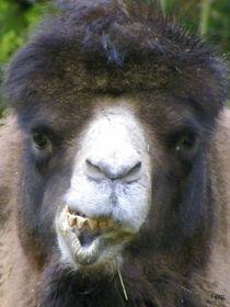 So ein Kamel... von Norbert Hergl