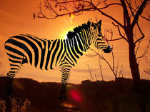 Zebra am Abend - Zebra in the evening von Norbert Hergl