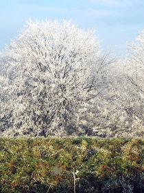 Frostige Bäume - Frosty Trees by Norbert Hergl