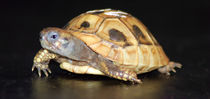 Schildkröte von emanuelvaanboek