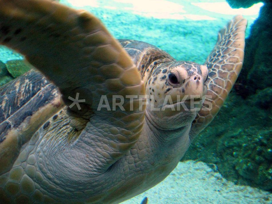 """""""sea turtle"""" fotografie als poster und kunstdruck von"""