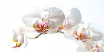 Phalaenopsis von Jana Behr