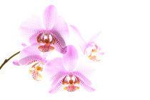 Orchideenrispe von Jana Behr