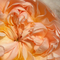 Rose by luminarti