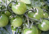 grüne tomaten by wohnzimmerkunst