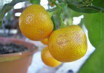 mandarine im topf by wohnzimmerkunst