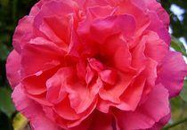 rose von wohnzimmerkunst