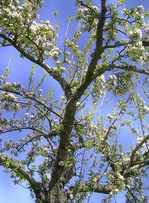 apfelblüte von wohnzimmerkunst
