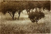 Olivenbäume by Werner Resch