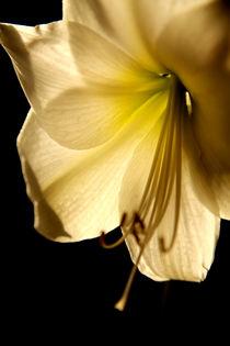 Weiße Amarylis im Durchlicht von Magnus Pomm