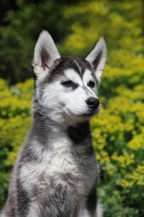 Hundeportrait Husky-Welpe  von Magnus Pomm