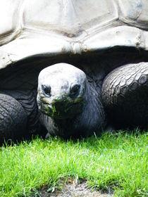 Schildkröte von cicero