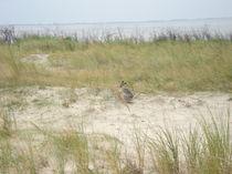 Strandhase von rekeni
