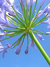 Schmucklilien von 365tage