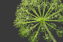 Kugelblume von 365tage