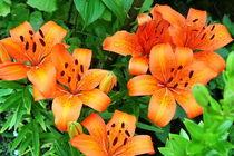 Lilien in orange von Roswitha Rudzinski