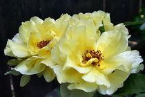 Gartenrosen von Roswitha Rudzinski