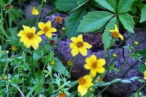 Unkraut - oder Blumen? von Roswitha Rudzinski