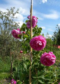 Rosen Romantik von Heike Nedo
