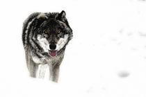 lone wolf by imaginarius