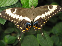 Schmetterling by Herbert Foellmer