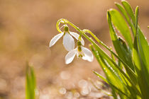 Schneeglöckchen läuten den Frühling ein von Christine Amstutz