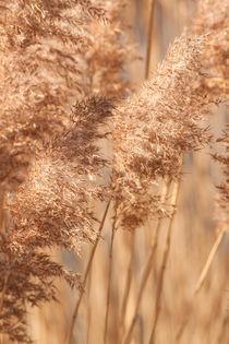 Delikate Gräser bewegen sich mit dem Wind von Christine Amstutz