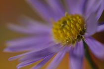 Tiny Aster mit Tautropfen by Christine Amstutz