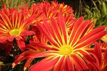 Farbenfrohe Herbstblumen von Christine Amstutz