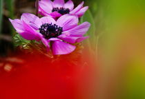 anemone by Rudolf Strasser