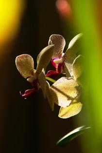 Orchidee von Rudolf Strasser