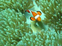 Nemo by Grazyna Nott
