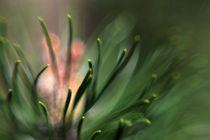 dreaming pine by daniela scharnowski