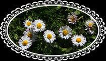 Gänseblümchen von Rosi Lorz