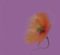 Mohnblüte von Rosi Lorz