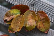 AutumnLeafs by Rosi Lorz
