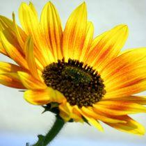 Sonnenblume  by tcl