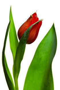 Die Tulpe von Falko Follert